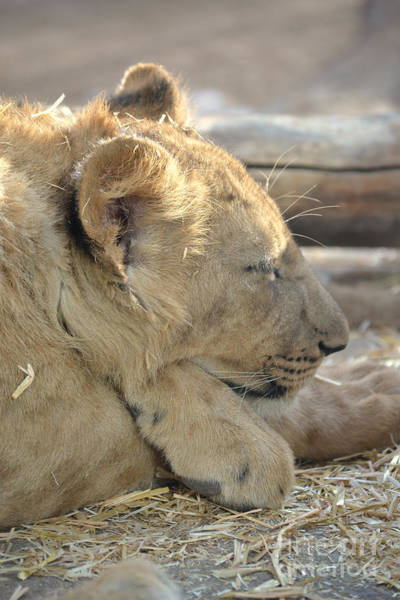 Photograph - Lion Cub Dozing In The Sun by Elle Arden Walby