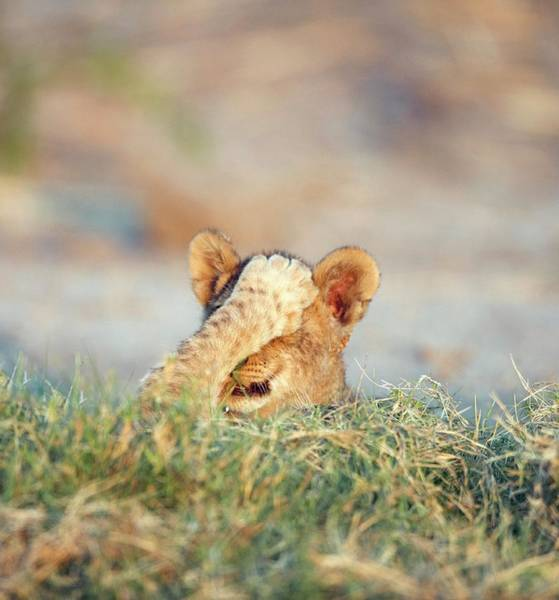 Lion Cubs Photograph - Lion Cubs Playing by Dr P. Marazzi/science Photo Library