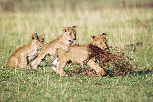 Lion Cubs Photograph - Lion Cubs Playing by John Devries/science Photo Library