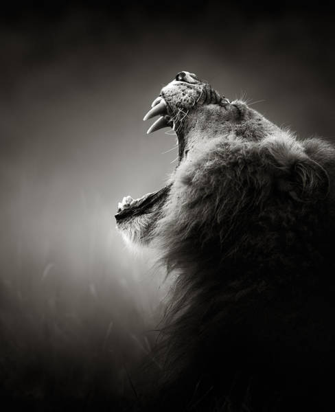 Show Photograph - Lion Displaying Dangerous Teeth by Johan Swanepoel