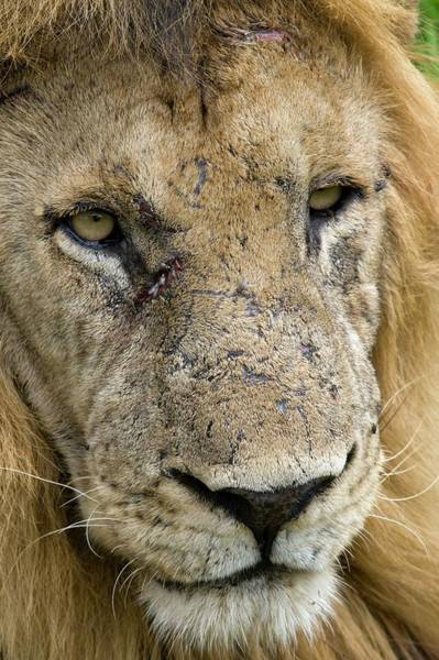 Big 5 Photograph - Lion by Dr P. Marazzi/science Photo Library