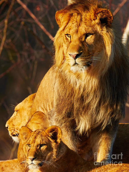 Photograph - Lion Family Close Together by Nick  Biemans