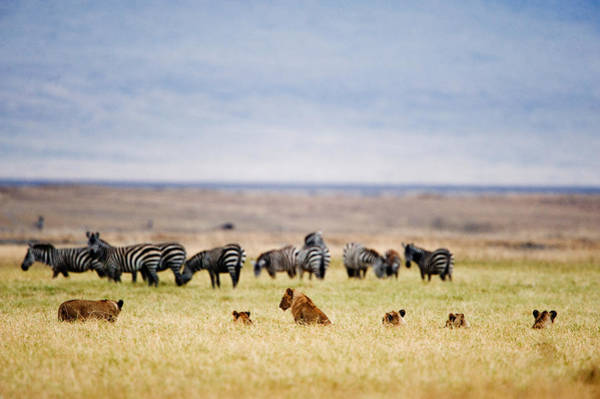 Hoof Photograph - Lion Family Panthera Leo Looking by Panoramic Images
