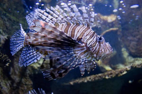 Digital Art - Lion Fish Close Up by Chris Flees