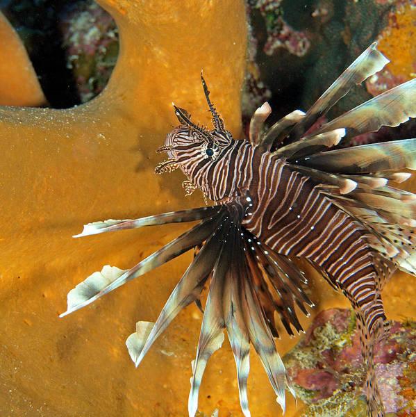 Photograph - Lion Fish Pterois Volitans by John Maraventano