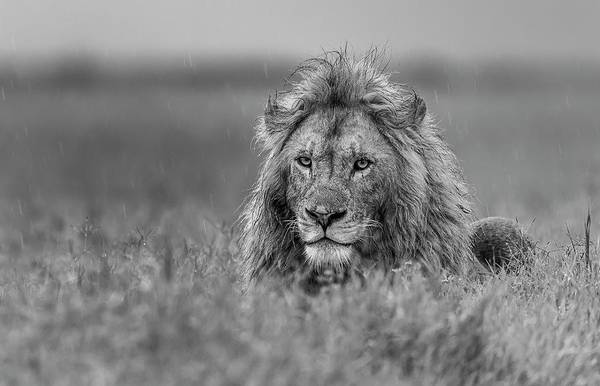 Rainy Photograph - Lion by Giuseppe D\\\'amico