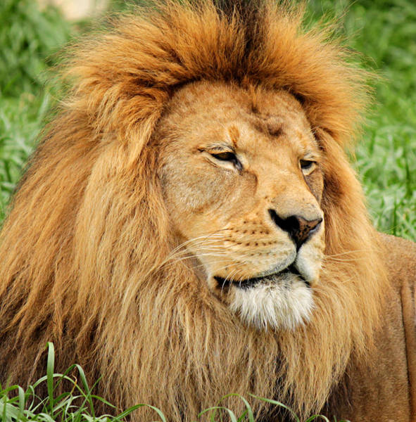 Photograph - Lion In The Grass by Sarah Broadmeadow-Thomas