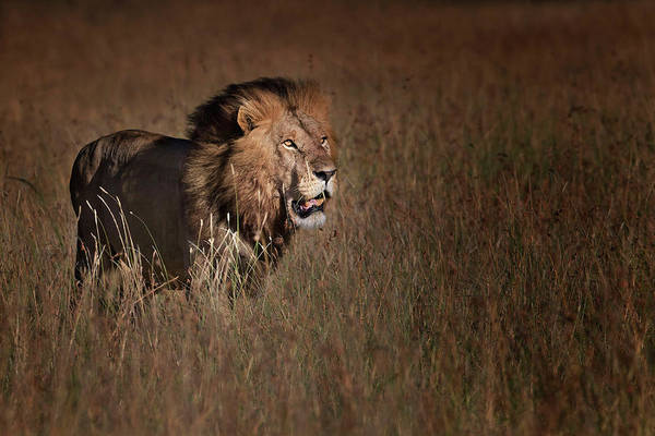 Wild Grass Photograph - Lion King by Phillip Chang