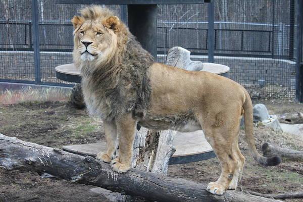 Photograph - Lion King by Ruth Kamenev