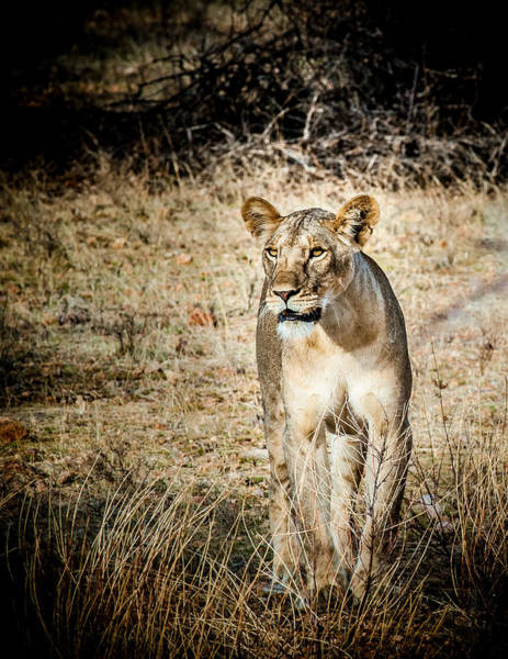 Photograph - Lion On The Prowl by Jim DeLillo