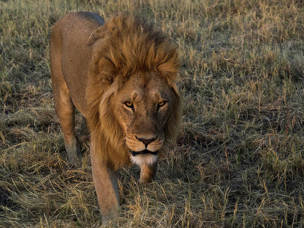Okavango Delta Photograph - Lion Panthera Leo After Chasing by Panoramic Images