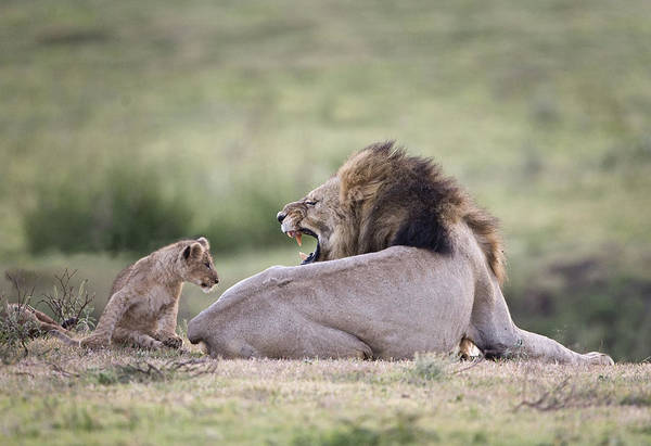 Growling Wall Art - Photograph - Lion Panthera Leo Growling At Cub by Animal Images