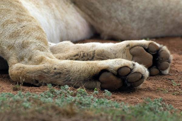 Big Five Photograph - Lion Paws by Peter Chadwick/science Photo Library
