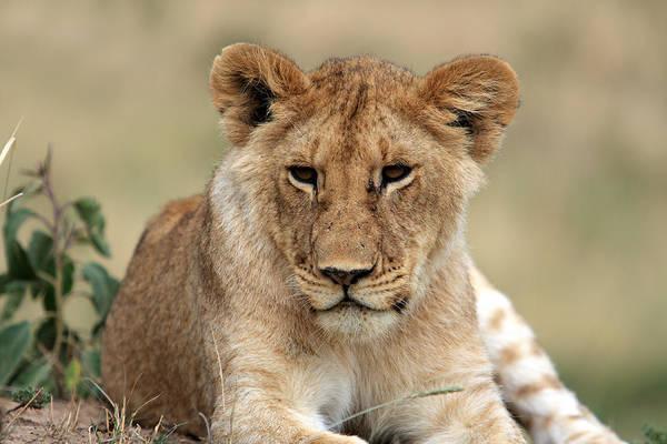 Photograph - Lion Portrait  by Aidan Moran