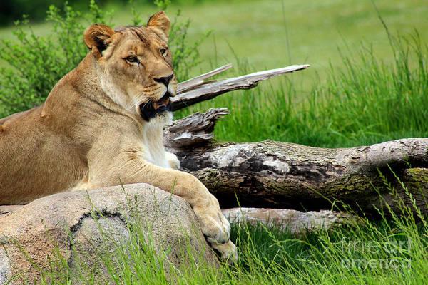 Photograph - Lioness by Karen Adams