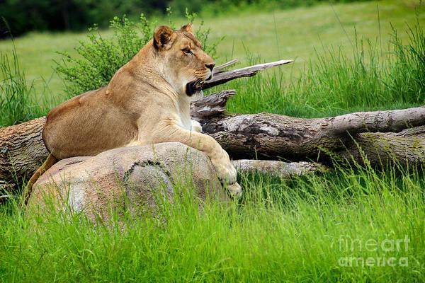 Photograph - Lion Queen by Karen Adams