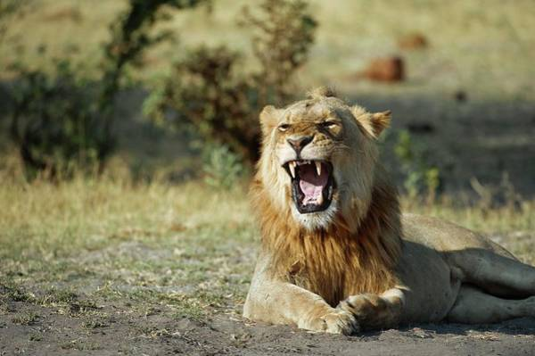 Wall Art - Photograph - Lion Roaring by Dr P. Marazzi/science Photo Library