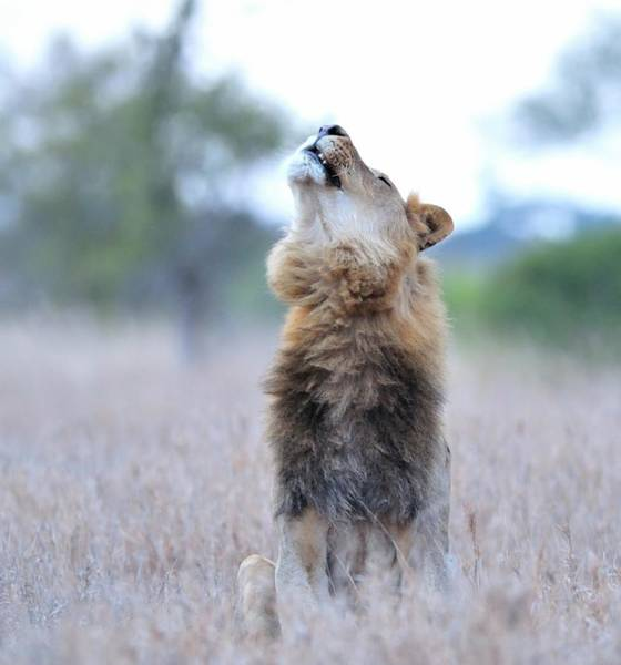 Howling Photograph - Lion Roaring by Wild Africa Nature