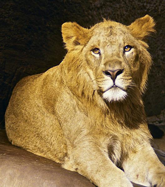 Photograph - Lion by Stuart Litoff