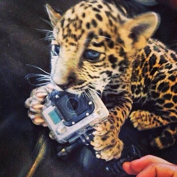 Jaguar Photograph - #lion #tiger #leopard #cheetah #jaguar by Victor Alex