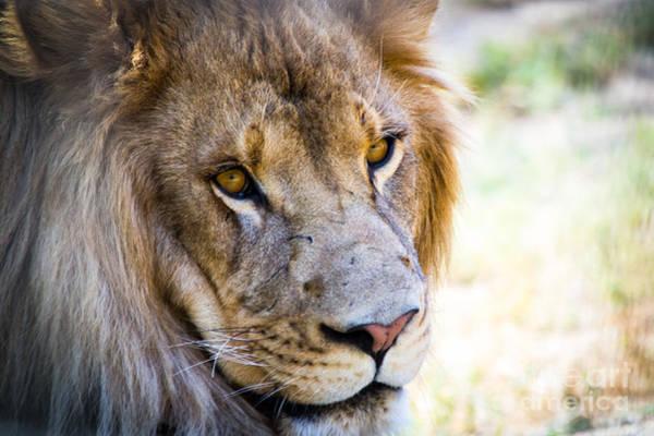 Photograph - Lion by Vincent Bonafede