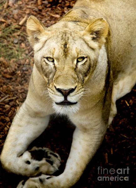 Lion-wildlife Art Print
