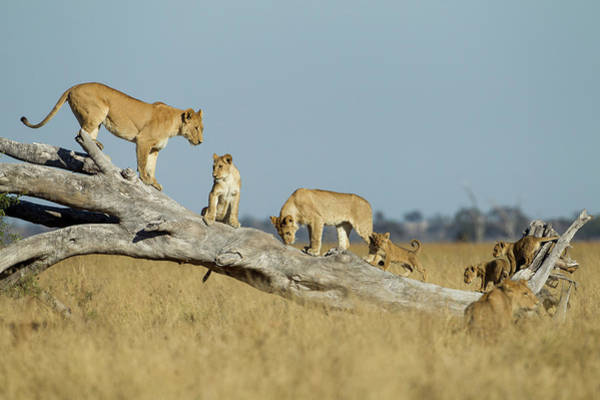 Lion Cubs Photograph - Lioness And Cubs Standing On Dead Tree by WorldFoto
