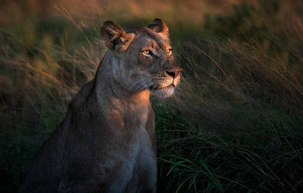 Wild Grass Photograph - Lioness At Firt Day Ligth by Xavier Ortega