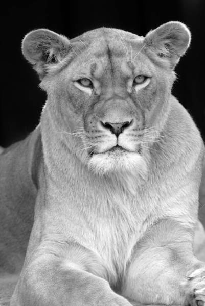 Photograph - Lioness In Black And White by Clint Buhler