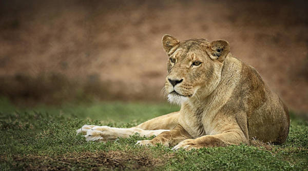 Photograph - Lioness by Kim Andelkovic