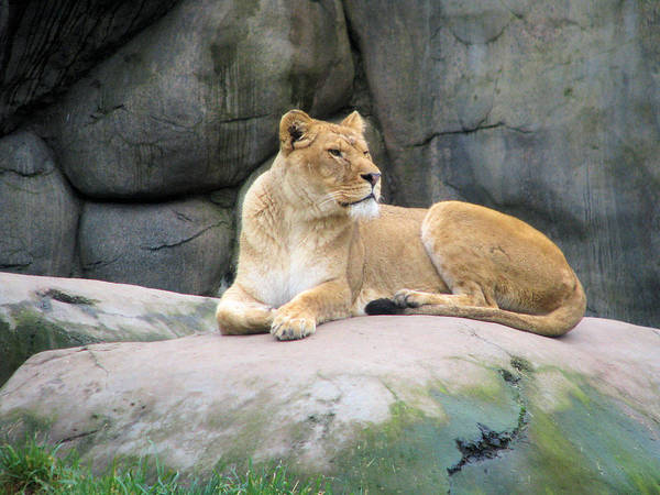 Photograph - Lioness by Lora R Fisher
