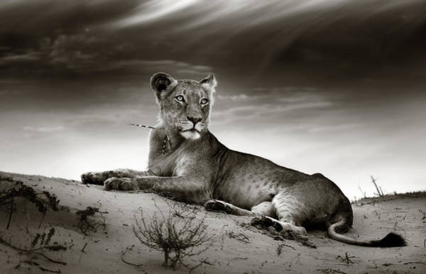 Monochrome Photograph - Lioness On Desert Dune by Johan Swanepoel