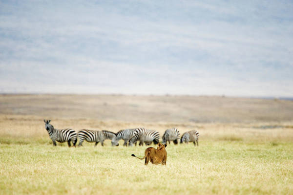 Animal Behavior Photograph - Lioness Panthera Leo Looking At A Herd by Animal Images