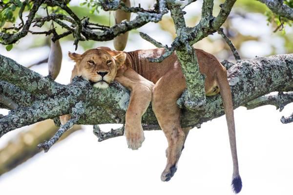 Psi Photograph - Lioness Panthera Leo by Photostock-israel