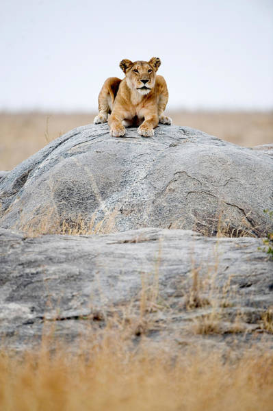 Carnivora Photograph - Lioness Panthera Leo Sitting On A Rock by Panoramic Images