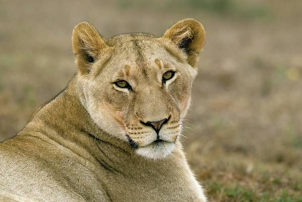 Big 5 Photograph - Lioness by Peter Chadwick/science Photo Library