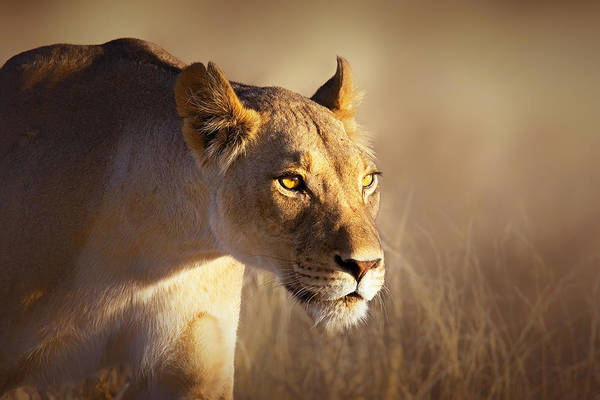 Wall Art - Photograph - Lioness Portrait-1 by Johan Swanepoel