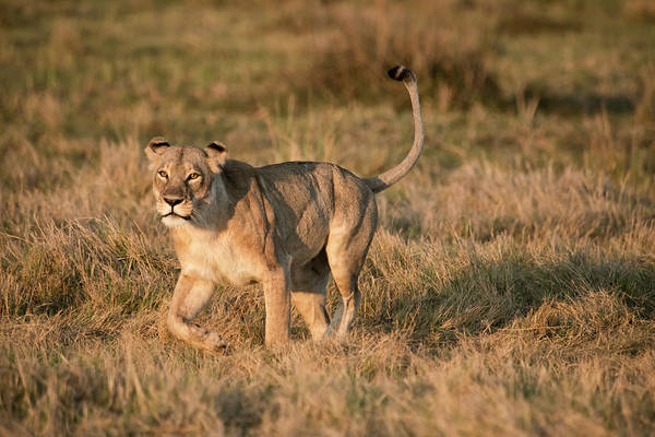 Botswana Photograph - Lioness Stalking (large Format Sizes by Sheila Haddad