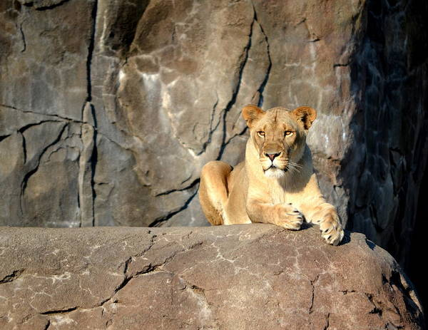 Photograph - Lioness by William Johnson