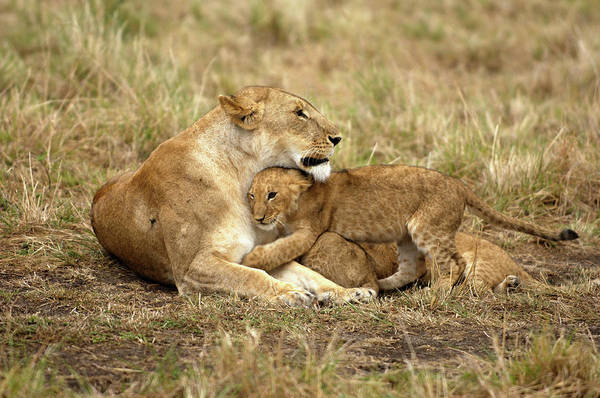 Lion Cubs Photograph - Lioness With Cubs by Dr P. Marazzi/science Photo Library