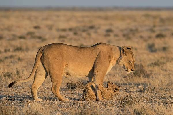 Behaviour Photograph - Lioness With Playful Cub by Tony Camacho/science Photo Library