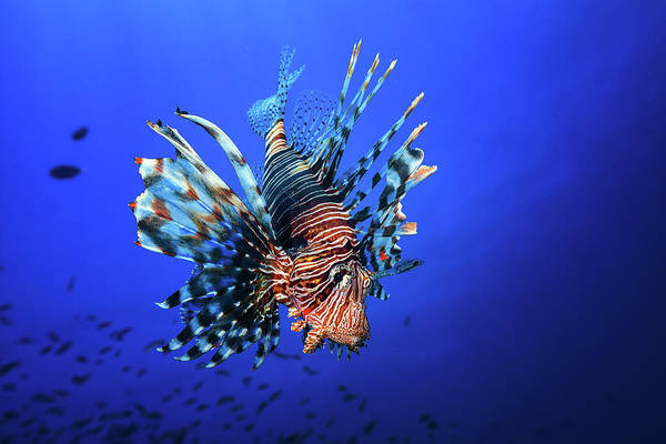 Indian Photograph - Lionfish by Barathieu Gabriel