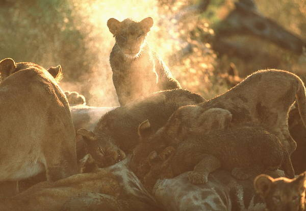 Wall Art - Photograph - Lions Feeding by John Beatty/science Photo Library
