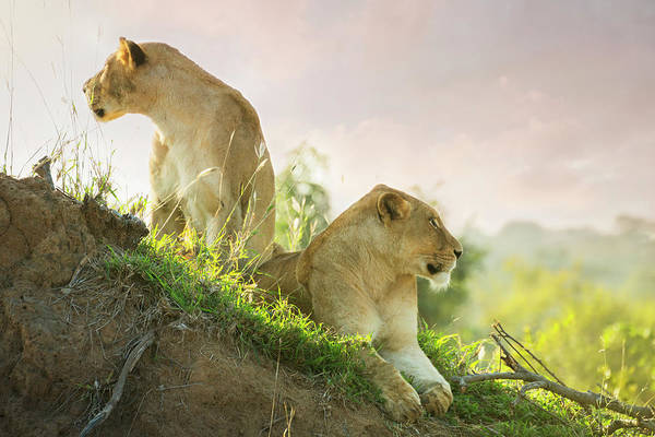 Vertebrate Photograph - Lions In Kruger Wildlife Reserve by Tunart