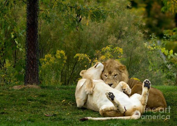Lions In Love Art Print