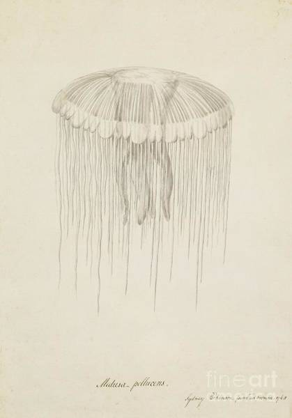 Lion's Mane Jellyfish Photograph - Lion's Mane Jellyfish, 18th Century by Natural History Museum, London