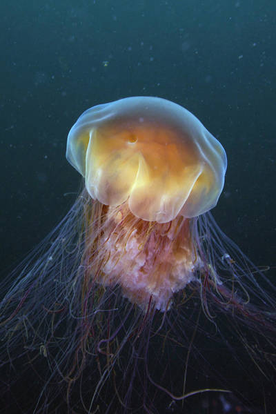 Lion's Mane Jellyfish Photograph - Lions Mane Jellyfish Prince William by Hiroya Minakuchi