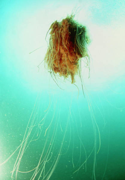 Lion's Mane Jellyfish Photograph - Lion's Mane Jellyfish by Rudiger Lehnen/science Photo Library