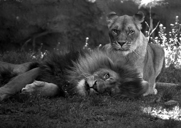 Wall Art - Photograph - Lions Me And My Guy by Thomas Woolworth