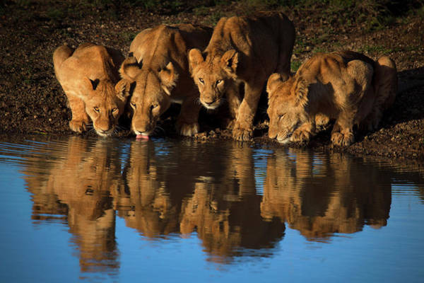 Big Cats Photograph - Lions Of Mara by Mario Moreno
